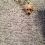 Berkeley-Dog-carpet-clean